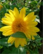Helianthus decapetalus `Capenoch Star´